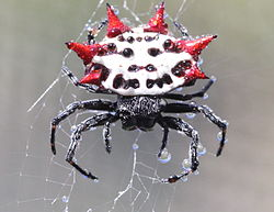 Spiny backed orbweaver spider 10 of the Worlds Spikiest Living Things