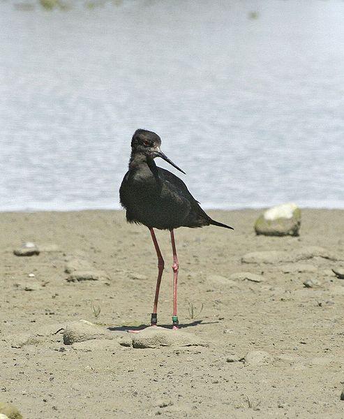 black stilt 10 of the Worlds Rarest Birds