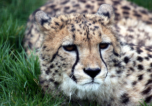 cheetah1 Amazing Wildlife Expeditions That You Shouldnt Miss