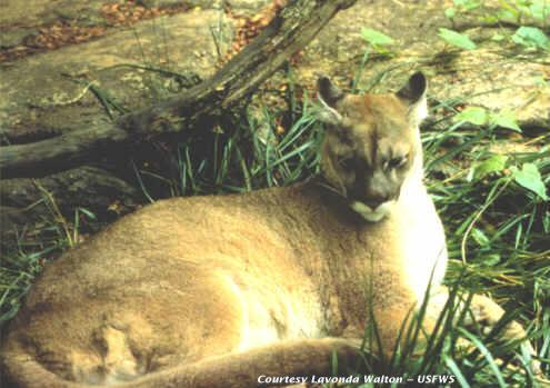 cougar Eastern Cougar is Officially Extinct