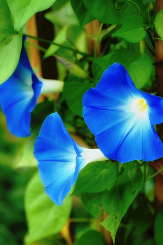 morning glory 10 Natural Plants That Can Get You High
