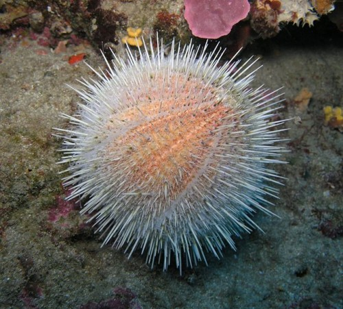 sea urchin e1300852957821 10 of the Worlds Spikiest Living Things