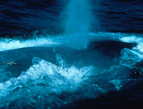 bluewhaleblowingair Blue Whale