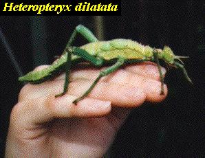 stick1  Phasmatodea (Stick Insects)