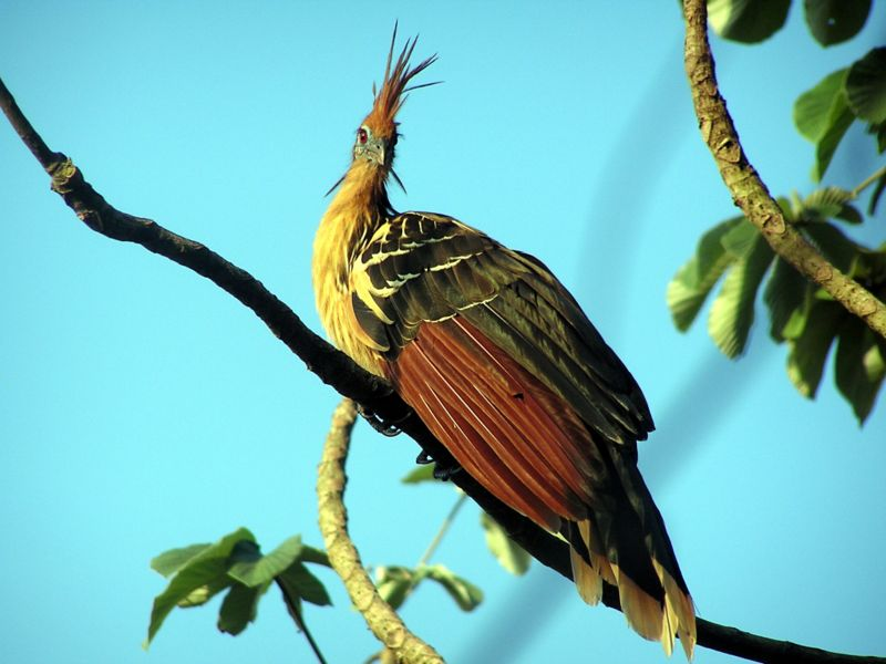800px opisthocomus hoazin  The Horrible Hoatzin
