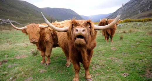 highland cattle Highland Cattle