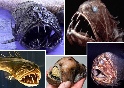 fangtooth 20 Species You Dont Want To Meet