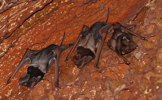 freetailbat1 Wroughtons free tailed bat