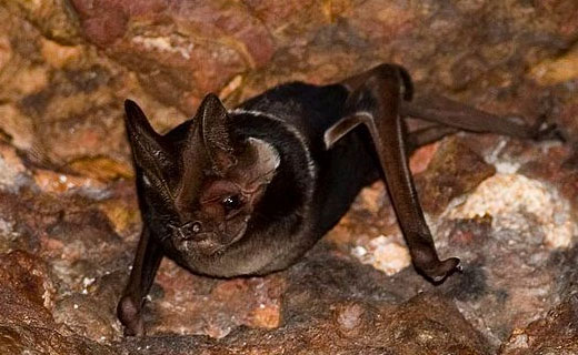 freetailbat2 Wroughtons free tailed bat