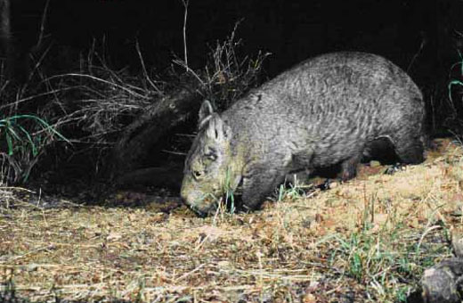 nhnw1 Northern hairy nosed wombat