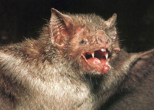 vampire bat 20 Species You Dont Want To Meet