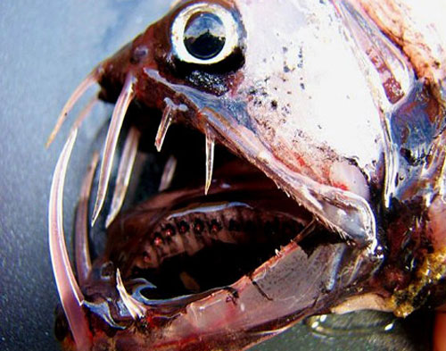 viperfish 20 Species You Dont Want To Meet