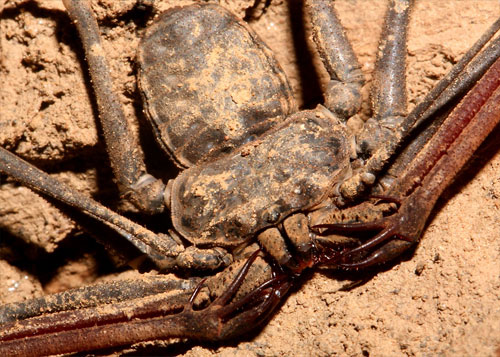 whip scorpion 20 Species You Dont Want To Meet
