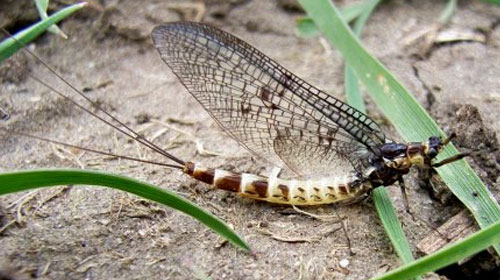 mayfly Top 10 Short lived Creatures