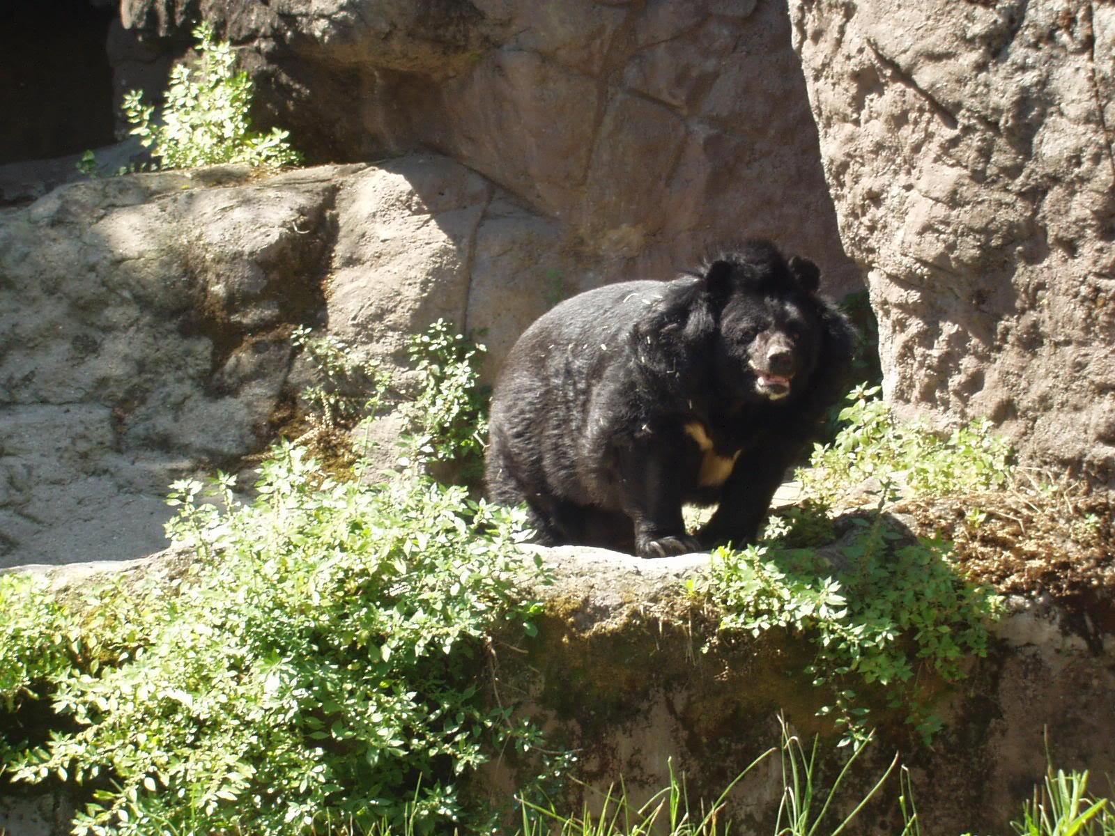 159038823NBFbys fs The Asian Black Bear