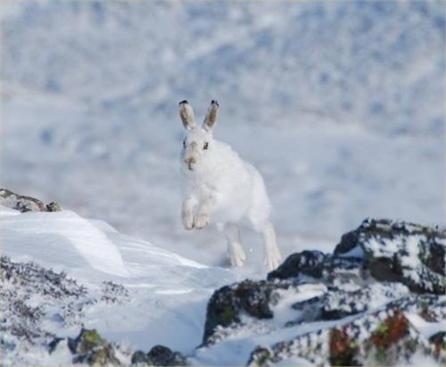 mar09pic1 Mountain Hare