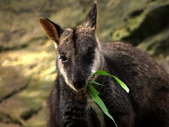 BTRW Brush tailed Rock wallaby