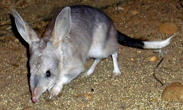 c bilbies at night 5 Greater Bilby