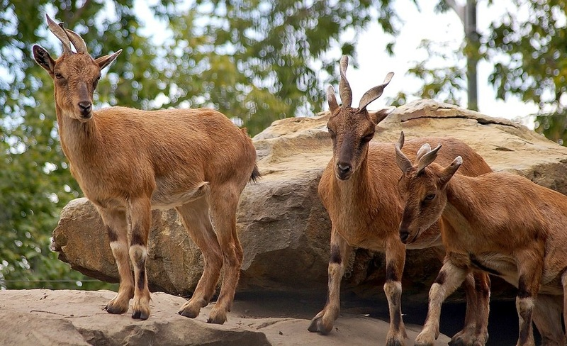 flickr 3925571697 image Alpine Ibex