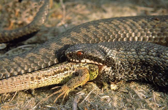 oz4 Common European Adder