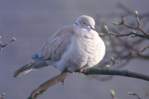 CollaredDove Collared Dove