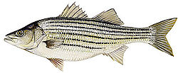 250px Striped Bass Striped Bass
