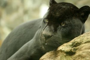 1078590 black jaguar Jaguar