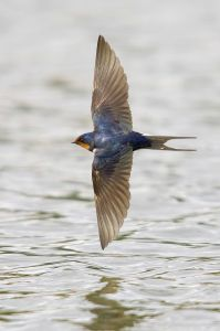 1200119 barn swallow Barn Swallow