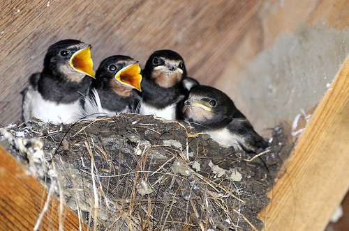 4696924463 2566221394 Barn Swallow