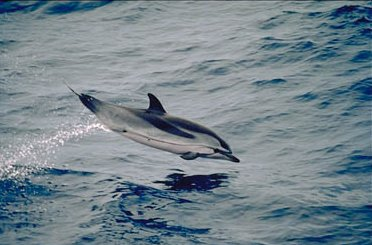 StripedDolpin Striped Dolphin