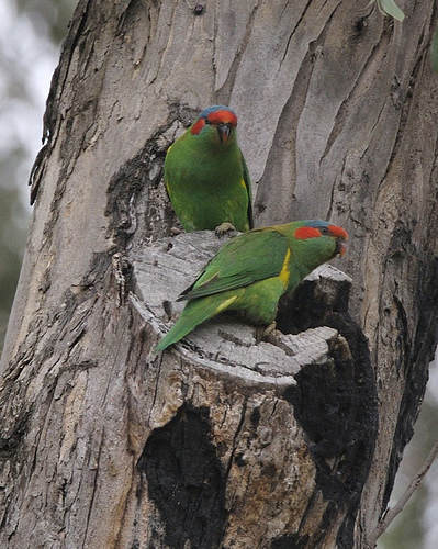 pair Musk Lorikeet