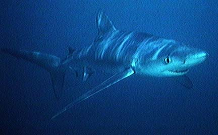 Blue shark 10 of the Worlds Scariest Sharks