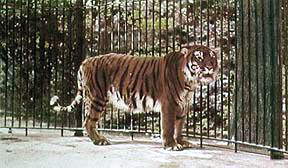 Caspian tiger 10 Animals Who Were Forced Into Extinction