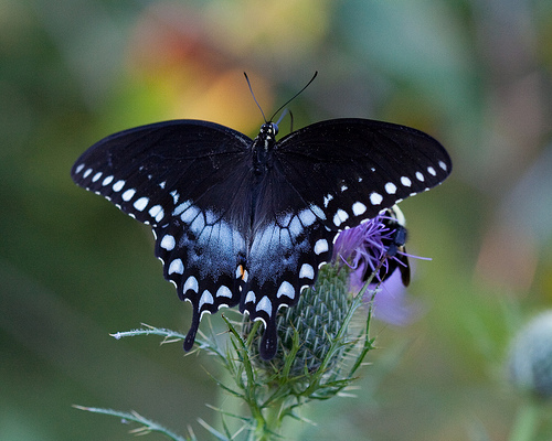 Papilio troilus 10 of the Worlds Most Beautiful Butterflies