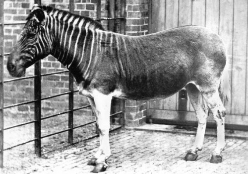 Quagga e1300852174990 10 Animals Who Were Forced Into Extinction