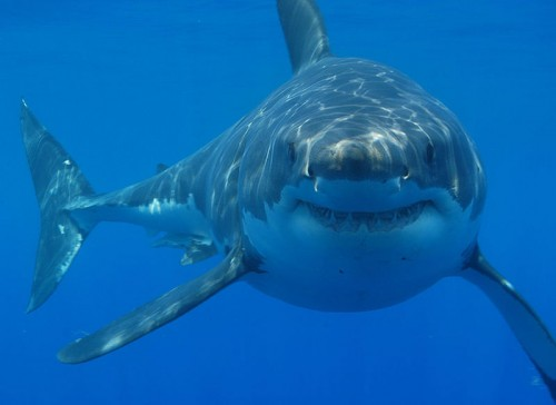 great white shark1 e1301033266231 10 of the Worlds Scariest Sharks
